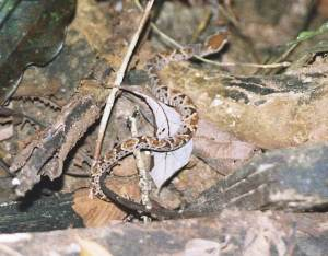 This is a picture of the venomous Fer De Lance.  Not the one from camp
