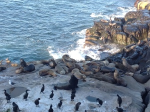 Sea Lions in La Jolla